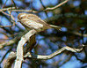 Oct 28- female Purple Finch at Long Road