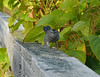 Galloping Catbird