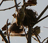 Goldfinches fascinated by nest