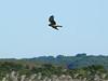 Harrier at Gooseberry