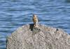 Oct 12 - Horned Lark Stony Point