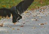 Crow catches snake momentarily