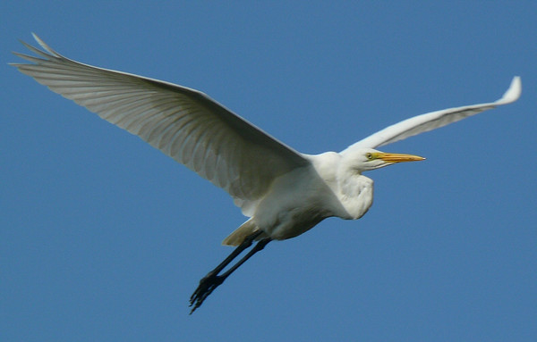 Great Egret at Atlas Tack