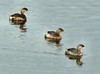 Pied-billed Grebes at Atlas Tack