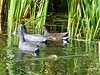 Two American Coots and a Common Gallinule