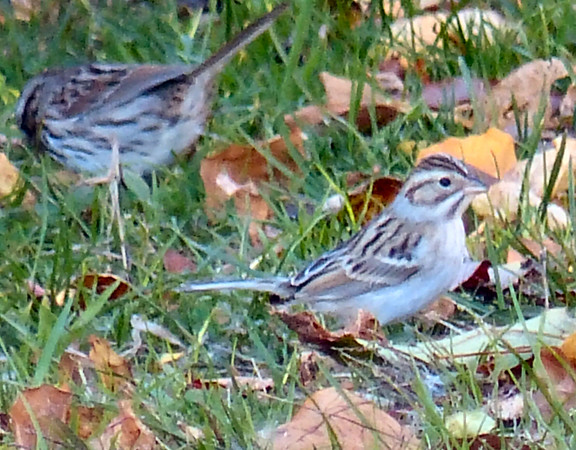 Clay-colored Sparrow, Egypt Lane