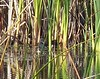 Common Gallinule October 20
