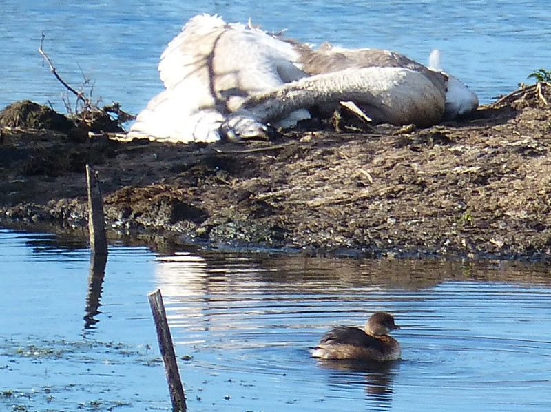 Grebe and dead swan