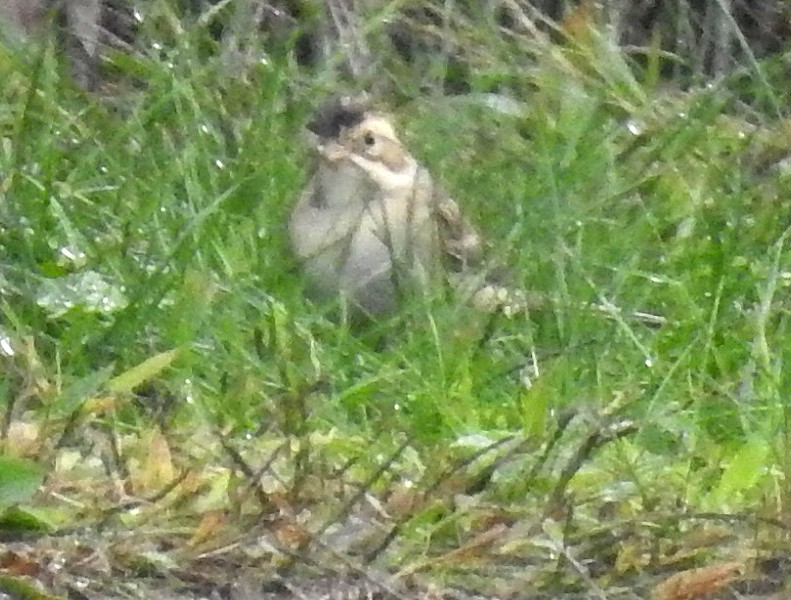 Clay-colored Sparrow in pouring rain