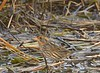 Saltmarsh Sparrow - Hacker - 10/19