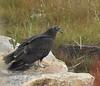 Juvie Turkey Vulture