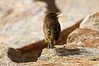 Palm Warbler hawking for spiders in the rocks - note web in bill