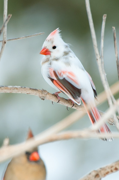 Leucistic Cardinal Found in West Grove, PA 2011