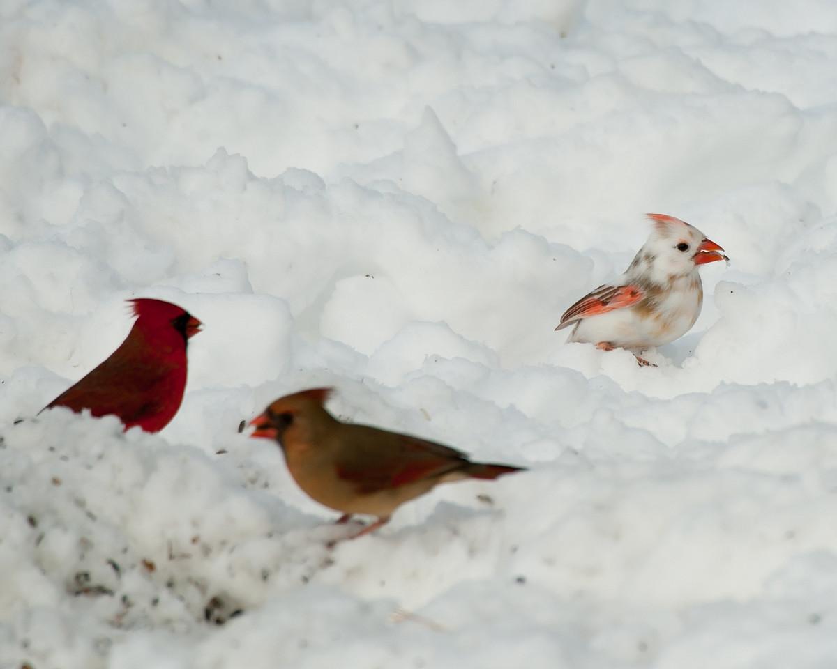 Leucistic Cardinal Found in West Grove, PA 2011