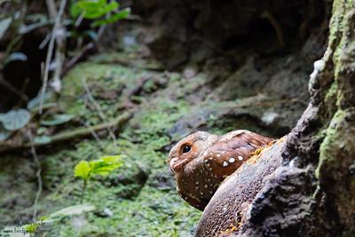 Oilbird - Pacto, Ecuador