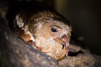 Oilbird - Asa Wright Nature Center, Trinidad