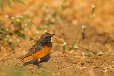 Black Redstart - Male - Near Koradi, Nagpur, India