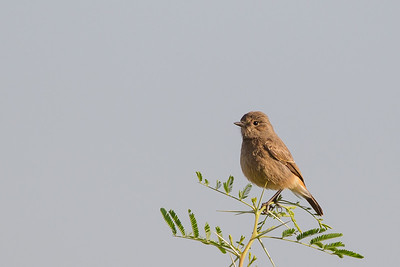 Black Redstart - Female - Near Koradi, Nagpur, India