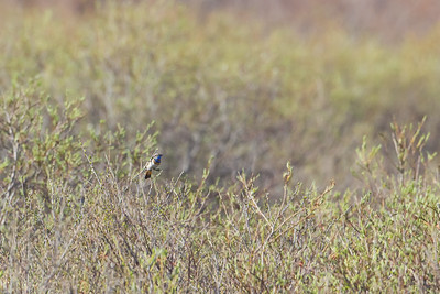 Bluethroat - Nome, AK, USA