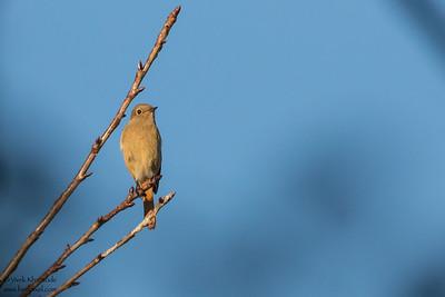 Daurian Redstart - Record - Tokyo, Japan