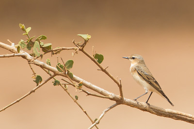 Northern Wheatear - Female - Lake Manyara National Park, Tanzania