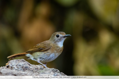 Fulvous-chested Jungle-Flycatcher - Bali, Indonesia