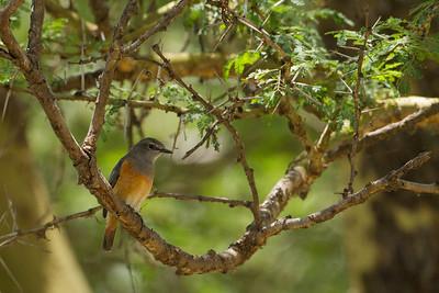 Little Rock Thrush - Lake Nakuru Naional Park, Kenya