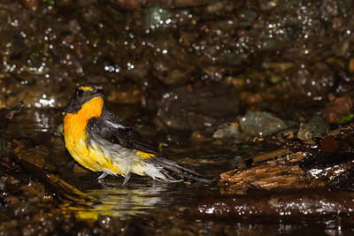 Narcissus Flycatcher - Male - Nr. Lake Yamanakako, Yamanishi Prefecture, Japan