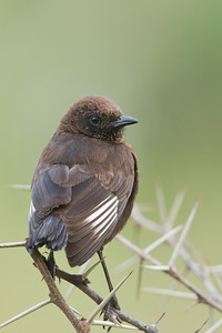 Northern Anteater Chat - Lake Nakuru National Park, Kenya
