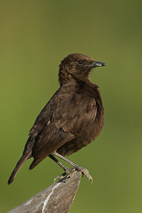 Northern Anteater Chat - Lake Nakuru Naional Park, Kenya