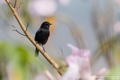 Oriental Magpie-Robin - Maharashtra, India