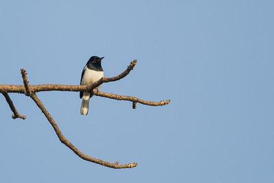 Oriental Magpie-Robin - Record - Ambazari backwaters, Nagpur, India