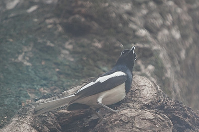 Oriental Magpie Robin - Record - Pench National Park, Maharashtra, India