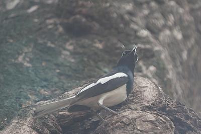 Oriental Magpie Robin - Record - Pench National Park, Maharashtra, India