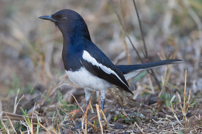 Oriental Magpie-Robin - Male - Pench National Park, Madhya Pradesh, India