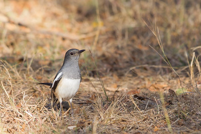 Oriental Magpie-Robin - Female - Pench National Park, Madhya Pradesh, India