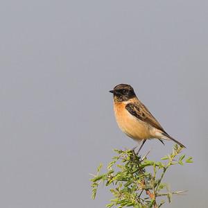 Siberian Stonechat - Near Koradi, Nagpur, India