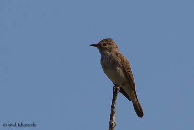 Spotted Flycatcher, Tangier, Morocco.
