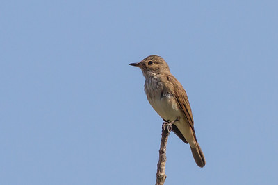 Spotted Flycatcher - Tangier, Morocco