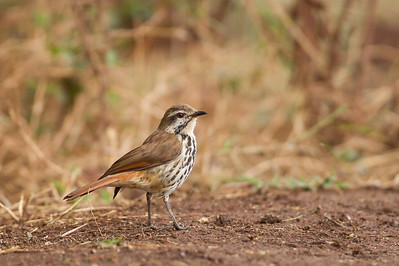 Spotted Morning-Thrush - Lake Manyara National Park, Tanzania
