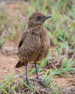 Southern Anteater Chat