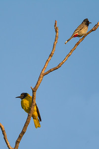 Black-hooded Oriole - Pench National Park, MP, India