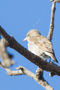 Chestnut-shouldered Petronia - Record - Pench National Park, Madhya Pradesh, India