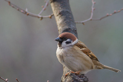 Eurasian Tree Sparrow - Shinjuku, Tokyo, Japan