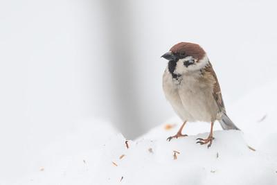 Eurasian Tree Sparrow  - Hokkaido, Japan
