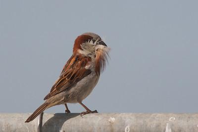 House Sparrow - Mountain View, CA, USA