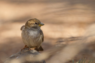 House Sparrow - Salton Sea, CA, USA