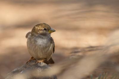 House Sparrow - Salton Sea, CA, USA