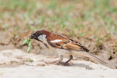 House Sparrow - Kutch, Gujrat, India