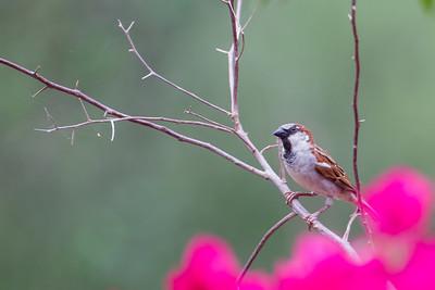 House Sparrow - Mission, TX, USA